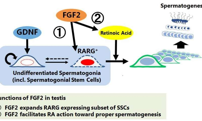 Scientists identify novel function of self-renewal factor of spermatogonial stem cells
